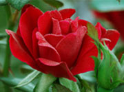 счастье видеть - уроки розы