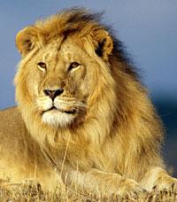 Лев в Петле времени – сильная воля