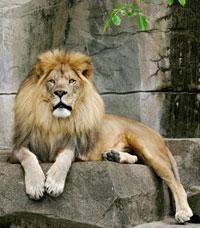 Лев в Петле времени – чувство собственного достоинства