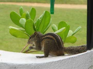 Остров Шри-Ланка - Ранний утренний гость